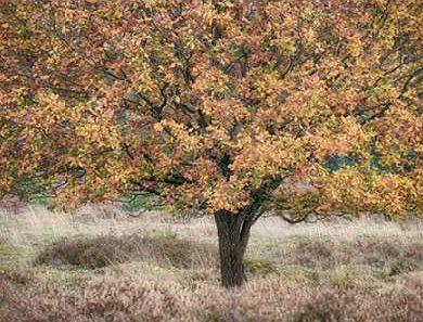 Niele Cora - Autumn Tree